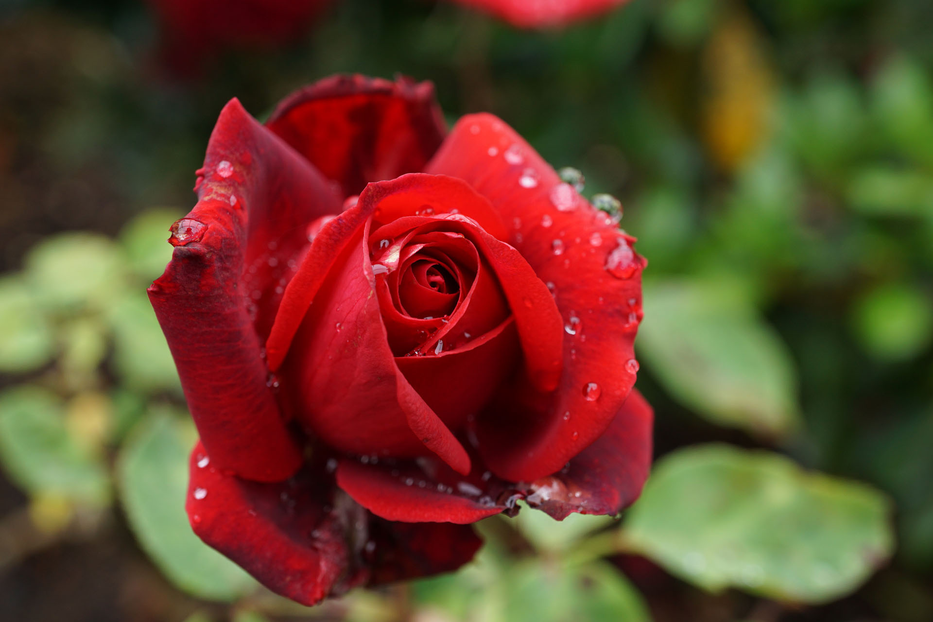 Red rose, Lacebark